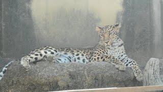 Amur leopard (Oji Zoo, Hyogo, Japan) October 15, 2020