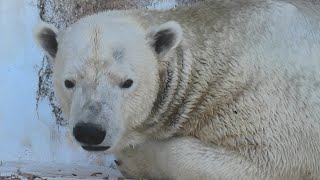 ホッキョクグマ の『ゴーゴ』 (天王寺動物園) 2020年12月23日