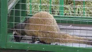 ハクビシン (日立市かみね動物園) 2017年10月21日