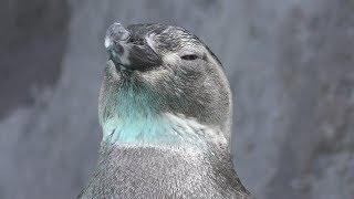 マゼランペンギン (のとじま水族館) 2019年8月17日