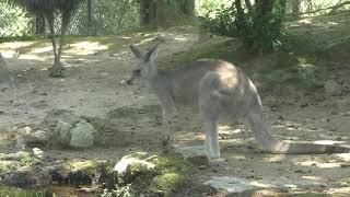 オーストラリアの平原 (いしかわ動物園) 2019年8月18日