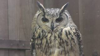 Indian eagle-owl (Fuji Kachoen Garden Park, Shizuoka, Japan) November 25, 2018