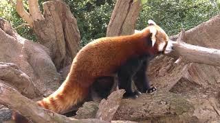 ニシレッサーパンダ Himalayan red panda