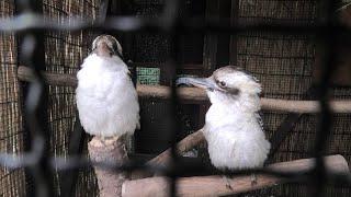 Laughing Kookaburra (Saitama Children's Zoo, Saitama, Japan) September 15, 2020
