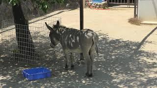 ロバ の『ブンタ』 (神戸市立 王子動物園) 2019年5月24日