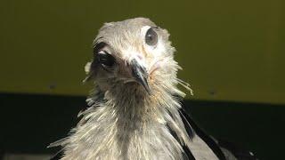 ヘビクイワシ の子ども『ジョジョ』 (東武動物公園) 2020年9月18日