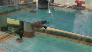 アカウミガメの子供たち (名古屋港水族館) 2017年11月18日