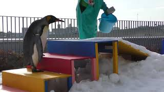 ペンギンウィンターパレード (仙台うみの杜水族館) 2018年1月20日