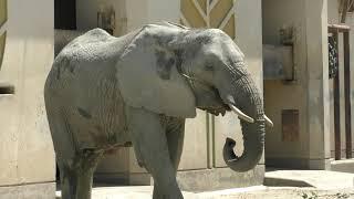アフリカゾウ の『エリ』と『マリー』 (熊本市動植物園) 2019年4月18日
