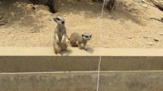 ミーアキャットはようすをみている (東武動物公園) 2017年6月11日