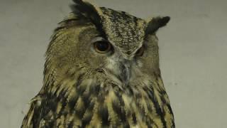 Eurasian eagle-owl (Kamo Garden, Shizuoka, Japan) July 1, 2018