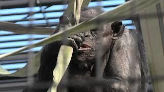 チンパンジー (宮崎市フェニックス自然動物園) 2019年12月9日