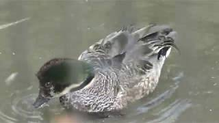 ヨシガモ (井の頭自然文化園) 2018年9月9日
