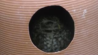 Burrowing Owl (Fuji Kachoen Garden Park, Shizuoka, Japan) November 25, 2018