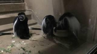 アビシニアコロブス(上野動物園) 2017年8月9日