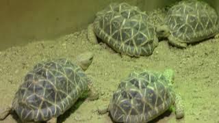 Baby Indian star tortoise (Kyoto City Zoo, Kyoto, Japan) November 5, 2017