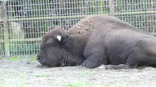 アメリカバイソン (宮崎市フェニックス自然動物園) 2019年12月9日