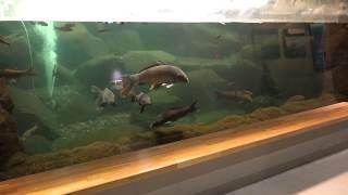 四万十川の中・下流からの汽水 (虹の森公園 おさかな館) 2019年12月24日