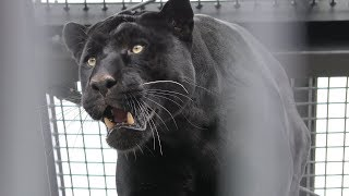 ジャガー の『ボスキ』 (鹿児島市 平川動物公園) 2019年4月17日