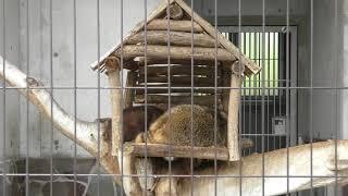 アライグマ の『ポム』と『スミ』 (周南市徳山動物園) 2018年5月19日