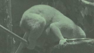 スンダスローロリス の赤ちゃん (上野動物園) 2018年7月7日