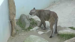 ピューマ の『ビンカーン』 (福山市立動物園) 2019年2月25日