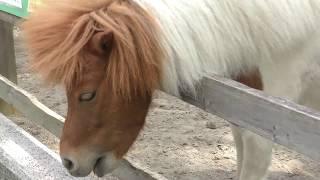 ポニーの『ひまわり』 (板橋区立こども動物園 高島平分園) 2018年5月12日