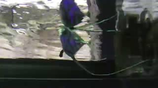 イトヒキアジの幼魚 (八景島シーパラダイス) 2018年1月7日