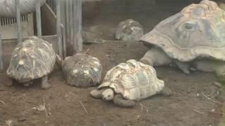 リクガメたち (茶臼山動物園) 2018年4月15日