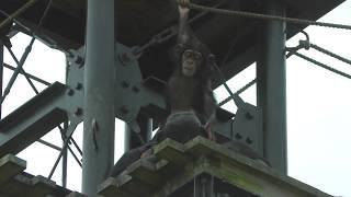 チンパンジー (平川動物公園) 2018年7月29日