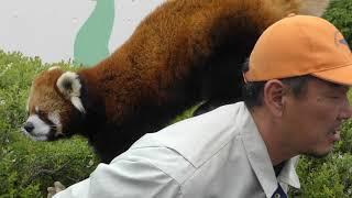 レッサーパンダ『ロン君』お散歩タイム (茶臼山動物園) 2018年4月15日