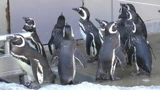マゼランペンギン (いしかわ動物園) 2019年8月18日