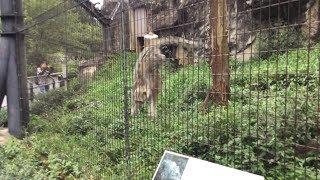 びっくりするユキヒョウ (多摩動物公園) 2017年8月27日