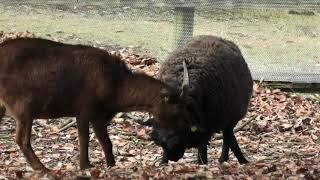 ヒツジ vs ヤギ (兵庫県立 但馬牧場公園) 2019年11月27日