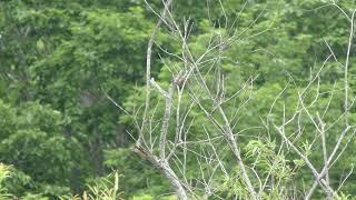 スズメ目 Passeriformes
