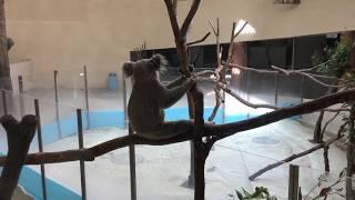 コアラの食事風景~おやすみまで (多摩動物公園) 2017年8月27日