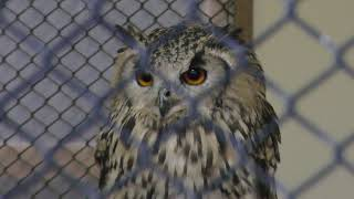 Indian eagle-owl (Kakegawa Kachouen, Shizuoka, Japan) December 10, 2017