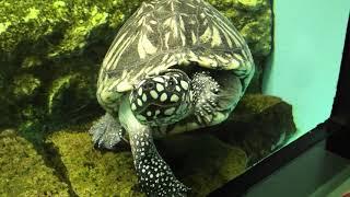ハミルトンガメ と インドセタカガメ (天王寺動物園) 2020年12月23日