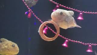 フウセンウオの赤ちゃん (ヨコハマ赤ちゃん水族館) 2017年12月16日