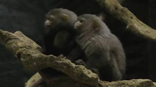 オグロマーモセット (千葉市動物公園) 2017年9月24日