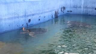 ウミガメ水槽 (大分マリーンパレス水族館 うみたまご) 2019年12月5日