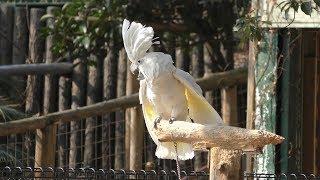 タイハクオウム (しろとり動物園) 2019年3月1日