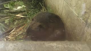 アメリカビーバー の『菊丸』 (釧路市動物園) 2019年7月4日