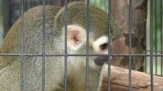 Squirrel Monkey (Toyama Municipal Family Park Zoo, Toyama, Japan) August 15, 2019