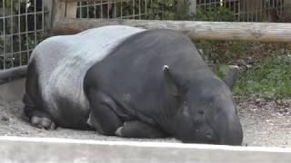マレーバクの『トム』と『シンディー』 (東武動物公園) 2018年3月31日