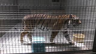 アムールトラ の『テン』 (浜松市動物園) 2018年7月1日