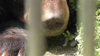 ヒマラヤグマ (愛媛県立とべ動物園) 2018年3月25日