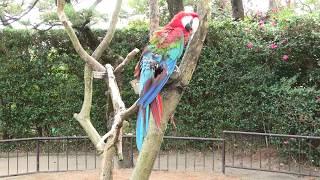 ベニコンゴウインコ (宮崎市フェニックス自然動物園) 2019年12月9日