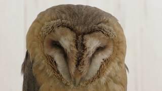 Barn Owl (Comorebi morino ibaraido, Ibaraki, Japan) June 2, 2018