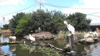 White Pelican (KOBE ANIMAL KINGDOM, Hyogo, Japan) September 28, 2020